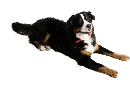 Teaching-your-dog-to-sit-dog-training-raleigh