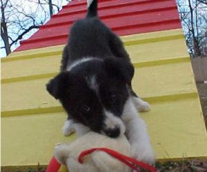puppy-agility-3
